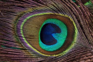 peacock-feather-186339_640